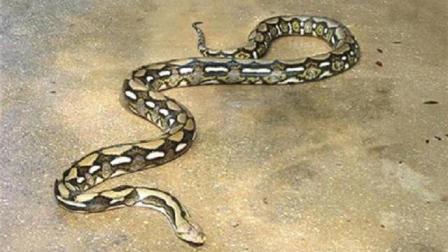 带你走进6米长的巨型网纹蟒, 网纹蟒又被称为杀人蟒, 是世界上体型最长的蛇类