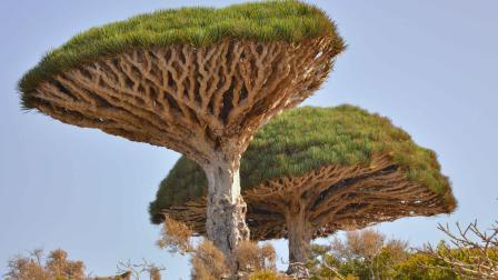 这棵长了腿的树, 连续行走200年, 这究竟是怎么回事?