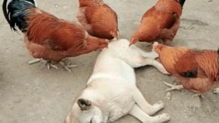 萌宠搞笑视频: 这只中华田园犬才是狗生赢家