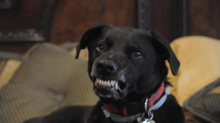 都说拉布拉多犬温顺, 看这画面多吓人