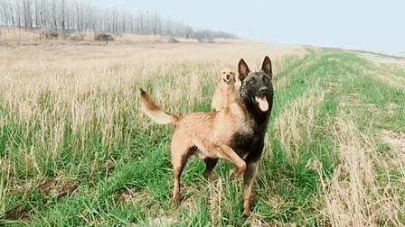 """""""牛牛王子""""快乐的一天, 金毛在马犬面前被秒成了渣"""