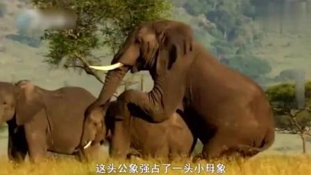 流浪公大象强占一头小母象, 象群首领看到后气忿不已