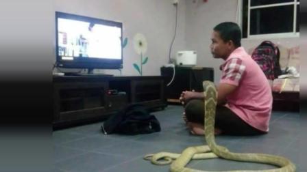 人蛇恋! 男子与眼镜蛇同吃同住 自称蛇是去世女友转世