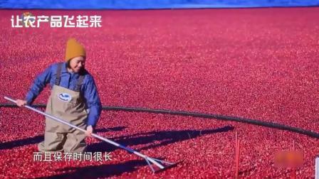 北美美味蔓越莓干, 原来是在水中泡起来收获, 加工全过程记录