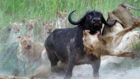 狮子将野牛扑倒, 下一秒却被牛群反杀, 就这一下狮子不死也得残废