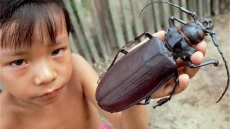 世界上最大的虫子, 能咬断铅笔, 网友: 鸡肉味嘎嘣脆!