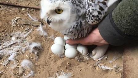 猫头鹰生下六个鸟蛋, 主人想摸一下, 下一秒它的举动亮了!