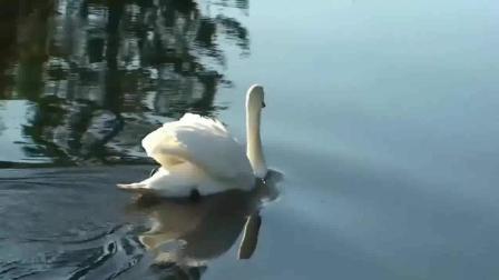 音乐短片 - 天鹅