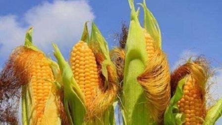 """一根玉米须等于""""二两黄金""""! 用玉米须煮水, 有哪些食疗作用?"""