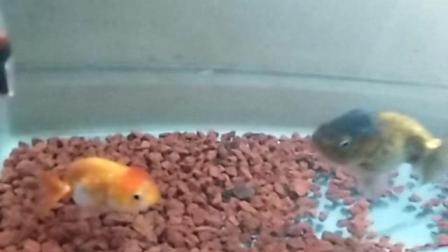 家养兰寿金鱼