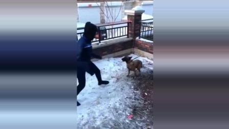 二货小伙作死挑衅恶犬, 正嘚瑟突然狗链子断了, 下一幕尴尬了!
