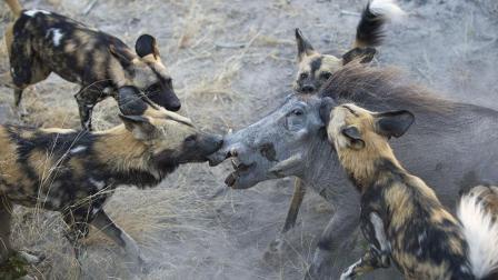30只非洲野狗猎杀疣猪, 上去直接啃肉, 疣猪惨遭掏肛活吃