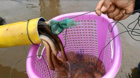 农民小哥自制神器捕捉黄鳝, 10分钟就有大收获, 简直牛了!