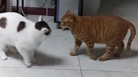 让你们看看什么叫做橘色霸王猫