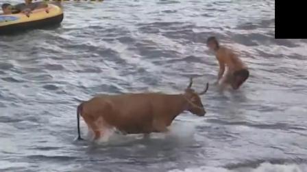 斗牛士激怒公牛被追杀不死不休 跳入海中都未能幸免