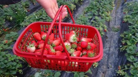 1斤40元的奶油草莓, 为什么叫奶油草莓, 它里面有奶油吗?