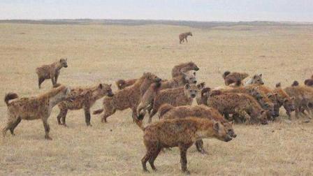狮子与鬣狗的最终大战, 不看后悔了!
