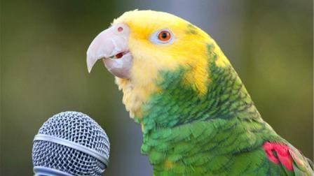 鹦鹉是鹦鹉, 正不正经就不知道了! 情歌唱的倒是挺溜!