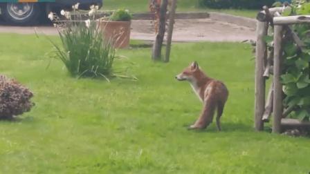 狐狸宝宝掉进下水道了, 好心人帮忙拯救, 最后跟狐狸妈妈回归自然