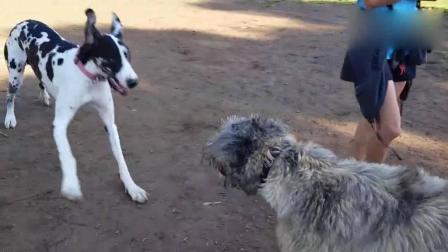 丑陋无比的爱尔兰猎狼犬与帅气的奶牛大丹犬嬉戏