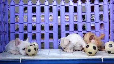 法国斗牛犬多少钱一只 斗牛犬图片大全大图 斗牛犬视频