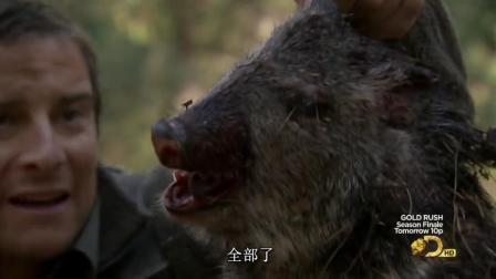 贝爷运气真好啊, 捡到野猪头, 美滋滋烤了吃!