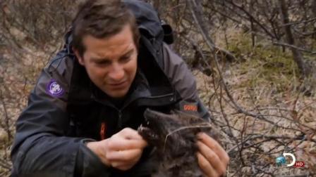 贝爷走的路多了, 又捡到一只北极狐!