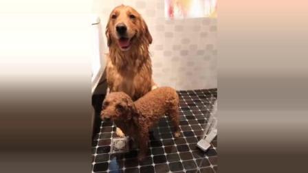 主人给金毛米拉和泰迪洗澡 俩只狗狗反应太可爱了