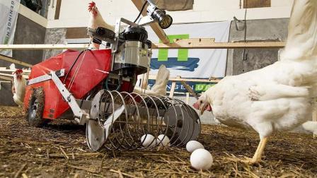 国外散养鸡自动拾蛋机器用着太方便, 网友: 卖40万块我也愿意买!