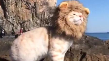 小狮王出巡, 好帅气!