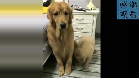 金毛轮胎果然不愧为全网最聪明的狗狗, 这智商也是没谁了, 好可爱