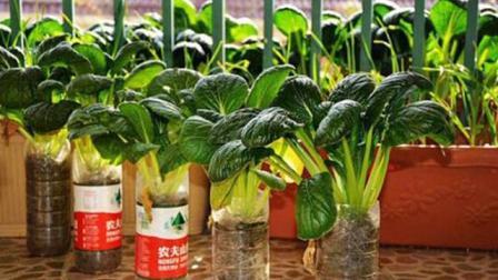 水培蔬菜种植方式快收好, 简单方便, 一家人吃不完!
