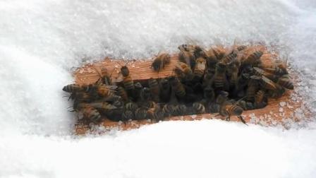 为什么养蜂人到了冬天就要喂蜜蜂吃白糖? 说出来你都不敢相信
