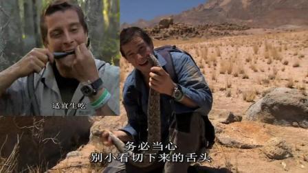贝爷吃辣条, 一只比一只大啊, 口牙真的不是一般的好!