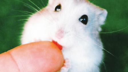 仓鼠突然把人咬出血,但第二天它却死了,原因难以置信!