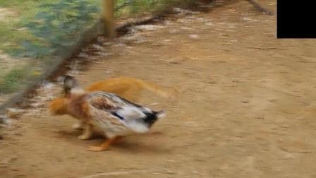 猫咪就是无意多瞄了一眼, 就被一只公鸭揍了一顿