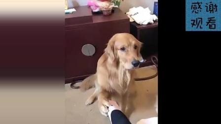 主人说金毛轮胎脚臭, 狗狗的反应真的好可爱