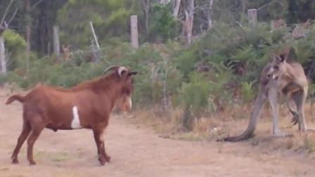 实拍: 山羊作死挑衅袋鼠, 它能扛住袋鼠一脚?