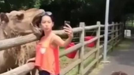 """美女""""无礼自拍"""" 下一秒骆驼生气张嘴咬头"""