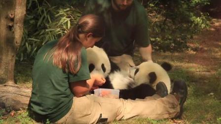 熊猫福凤和福伴在国外备受宠爱, 奶爸奶妈在一旁小心翼翼地伺候