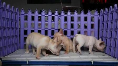 斗牛犬价格及图片 英国斗牛犬视频 英牛斗牛幼犬多少钱一只