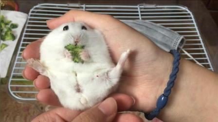 超实用的让仓鼠躺手里吃东西的小技巧, 快来学习吧