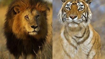 动物世界 狮子与老虎大战