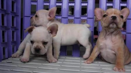 法斗幼犬价格多少钱一只 白色斗牛犬多少钱一只 纯种美国斗牛犬价格