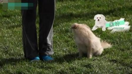 如何训泰迪狗 金毛训练视频教程全集 比格犬训练视频