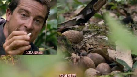 棕榈是好东西啊, 贝爷砸棕榈坚果吃, 还有棕榈芯吃!