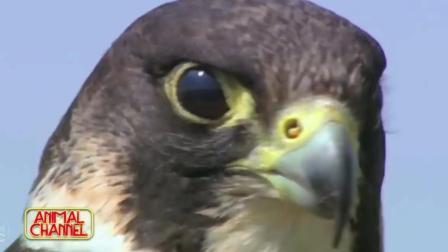老鹰各种神捕捉瞬间真是动物界的战斗机