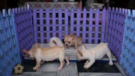 法牛犬图片 法国斗牛犬适合家养吗 中国斗牛犬多少钱一只