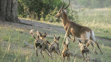 野狗捕杀怀孕羚羊, 幼崽丧命大象干预无力回天