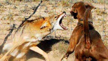 狼和杜高犬到底谁比较强悍? 比如这只狗和一只狼!